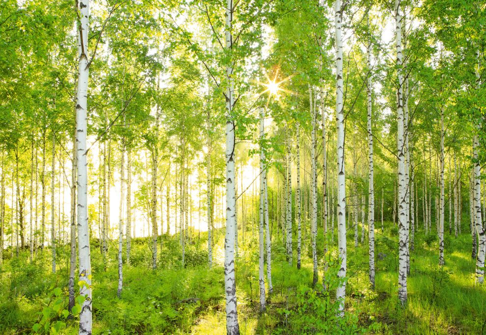 Fototapeten National Geographic : Birch Tree Forest Wall Mural